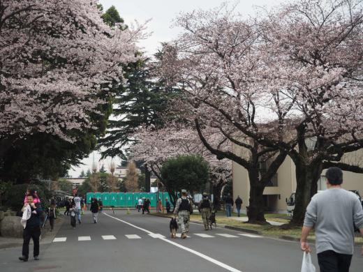 座間キャンプ、桜祭り_d0115243_21523596.jpg