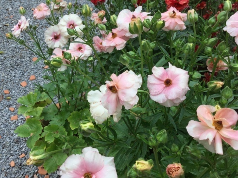 桜の咲く頃が、ラナンキュラスラックスも満開・・・_b0137969_10041320.jpeg