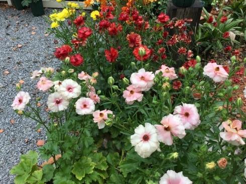 桜の咲く頃が、ラナンキュラスラックスも満開・・・_b0137969_10070317.jpeg