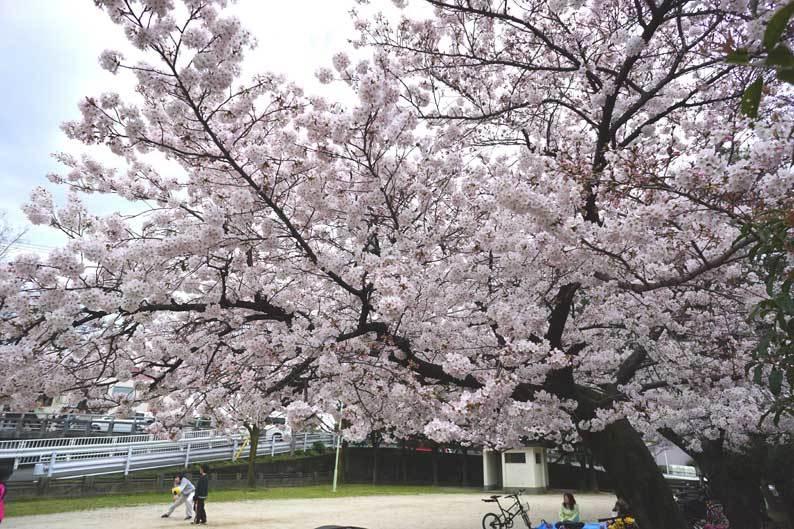 桜満開_b0057679_09375603.jpg