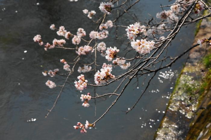 きょうの桜_d0047885_00420349.jpg