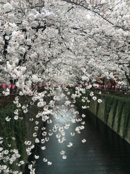日本の桜_d0339891_09421160.jpg