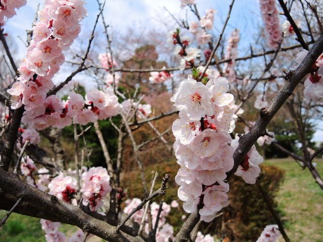 榴岡公園のお花見@仙台_f0100593_12501048.jpg