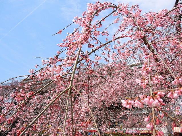 榴岡公園のお花見@仙台_f0100593_15163024.jpg