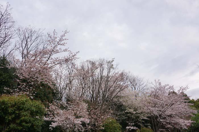 満開の桜_e0016894_22494567.jpg