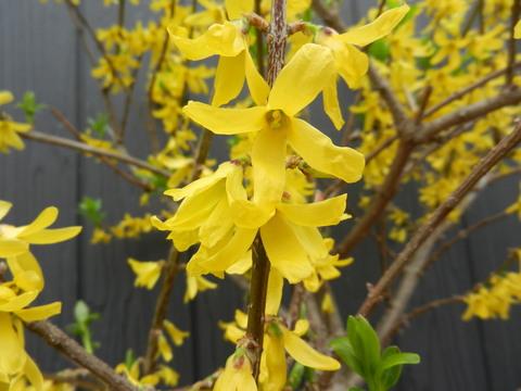 レンギョウの花が満開_e0024094_11332843.jpg