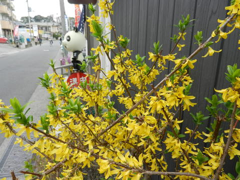レンギョウの花が満開_e0024094_11353491.jpg