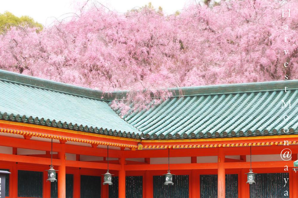 雅桜_b0208495_23192055.jpg