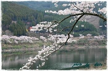 ~~   桜 満開 !  ~~_b0189699_00314521.jpg