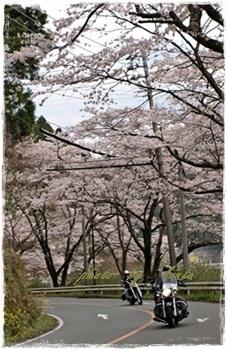~~   桜 満開 !  ~~_b0189699_00320637.jpg