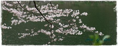 ~~   桜 満開 !  ~~_b0189699_00333777.jpg