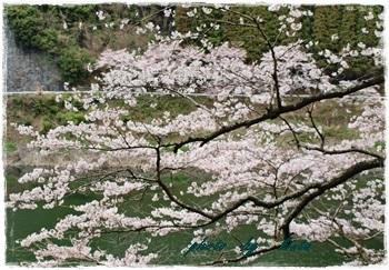 ~~   桜 満開 !  ~~_b0189699_00344927.jpg