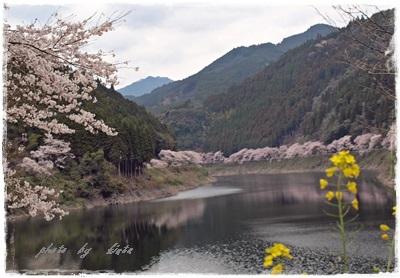 ~~   桜 満開 !  ~~_b0189699_00350972.jpg