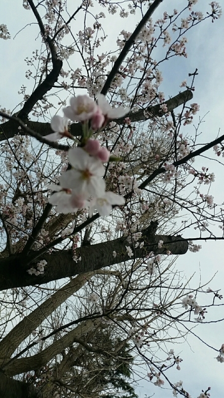 桜 さくら サクラ_d0092901_00075706.jpg