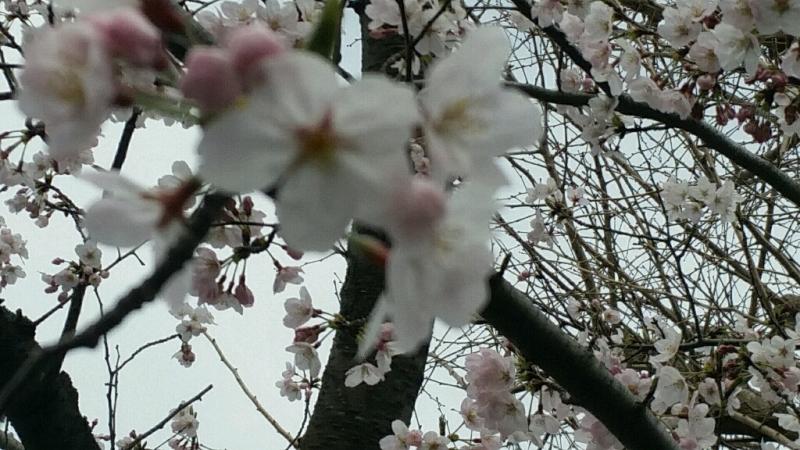 桜 さくら サクラ_d0092901_00080293.jpg