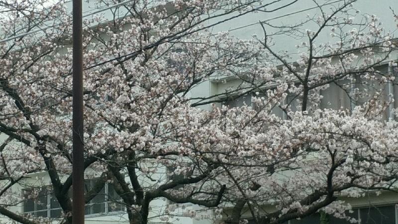 桜 さくら サクラ_d0092901_00080612.jpg
