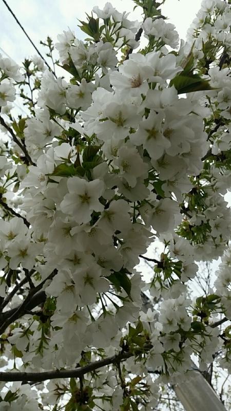 桜 さくら サクラ_d0092901_00081833.jpg