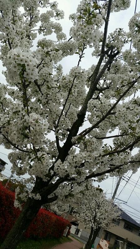 桜 さくら サクラ_d0092901_00082320.jpg