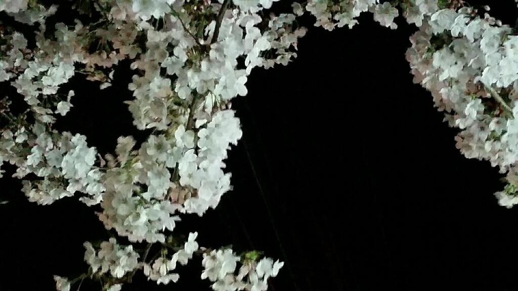 桜 さくら サクラ_d0092901_00082541.jpg