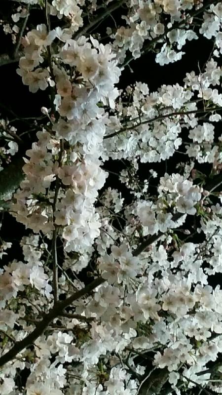 桜 さくら サクラ_d0092901_00083062.jpg