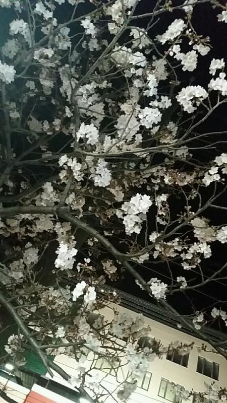 桜 さくら サクラ_d0092901_00083440.jpg