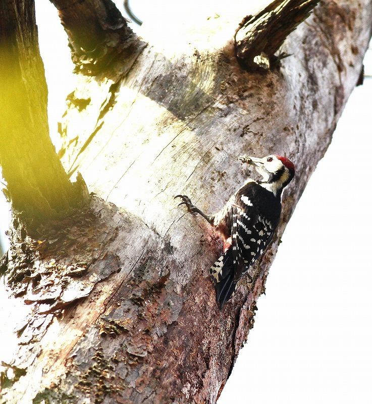 繁殖中のオオアカゲラに出会う・・・_c0213607_17563609.jpg