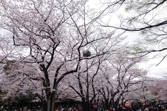 代々木公園でお花見_e0230011_17523226.jpg
