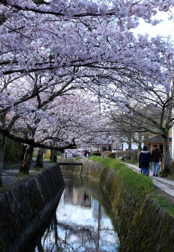 2016.桜だより29 哲学の道も満開_e0048413_1957266.jpg