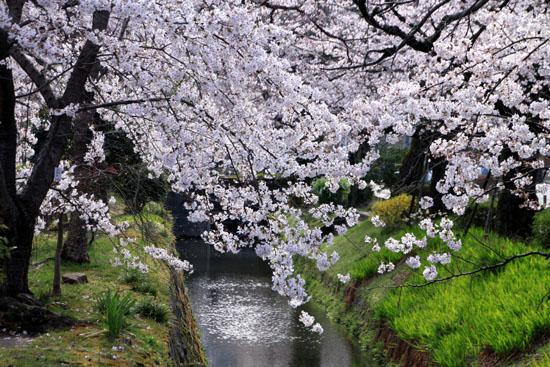 2016.桜だより29 哲学の道も満開_e0048413_19573924.jpg