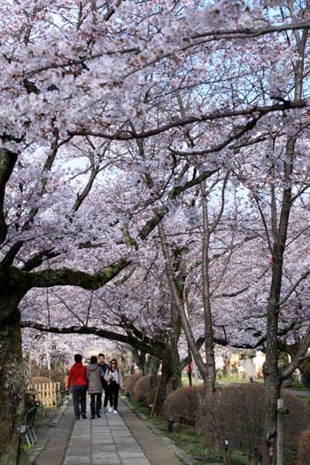 2016.桜だより29 哲学の道も満開_e0048413_19581358.jpg