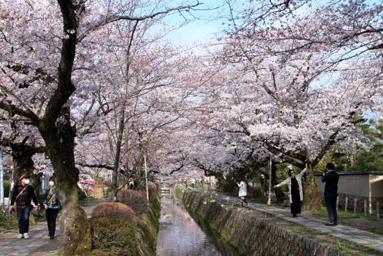 2016.桜だより29 哲学の道も満開_e0048413_1958416.jpg