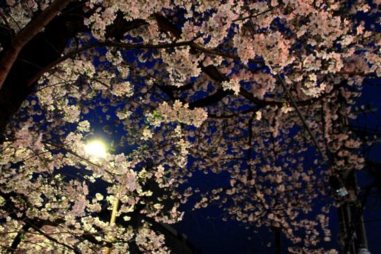 16桜だより31 円山公園の夜桜_e0048413_2211017.jpg
