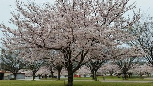 桜_e0136815_08214604.jpg