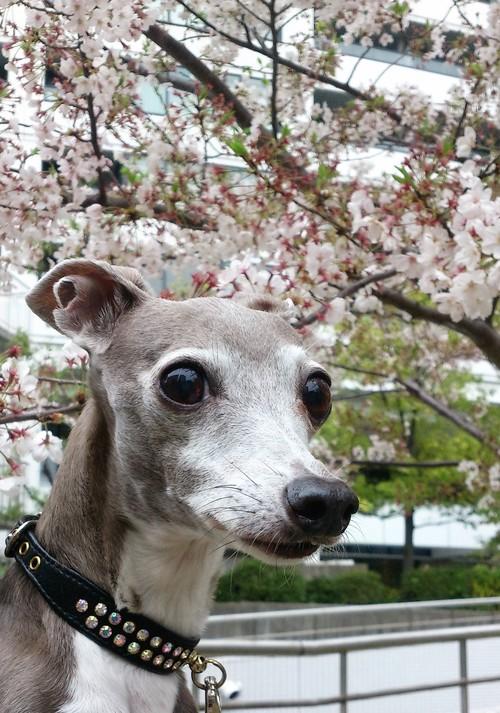 桜とモナミ_b0046331_22222671.jpg