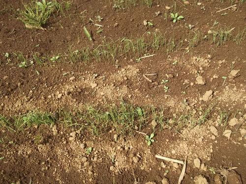 冬ネギの定植.._b0137932_21473222.jpg
