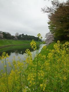 OFFその1   風景として惹かれる桜 半蔵濠~千鳥が淵_a0165160_13143859.jpg
