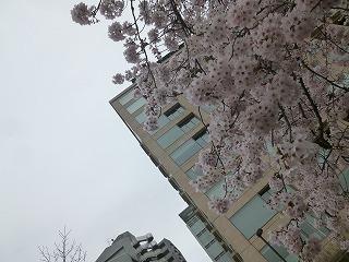 OFFその1   風景として惹かれる桜 半蔵濠~千鳥が淵_a0165160_13545242.jpg