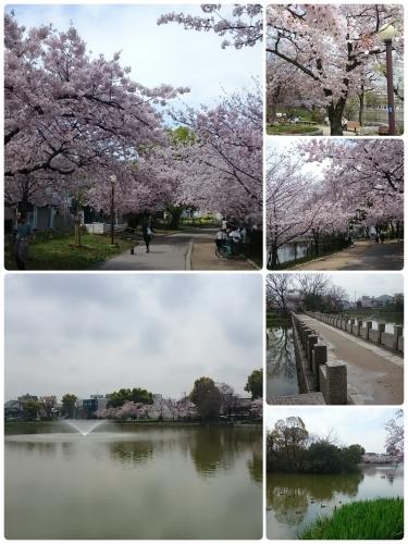さくら~万代池公園 @大阪_f0236260_19461707.jpg