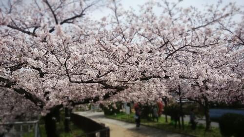 さくら~万代池公園 @大阪_f0236260_20021735.jpg
