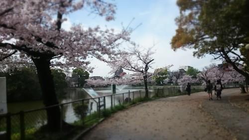 さくら~万代池公園 @大阪_f0236260_20145646.jpg