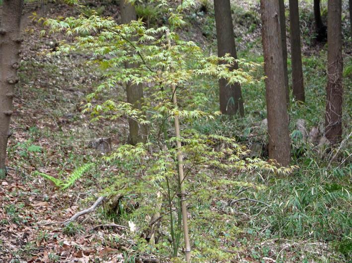 花冷えの中、六国見山のシンボルツリー『夫婦桜』探訪4・2_c0014967_12235819.jpg