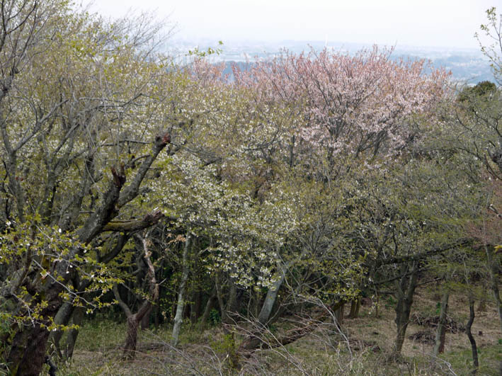 花冷えの中、六国見山のシンボルツリー『夫婦桜』探訪4・2_c0014967_1228189.jpg