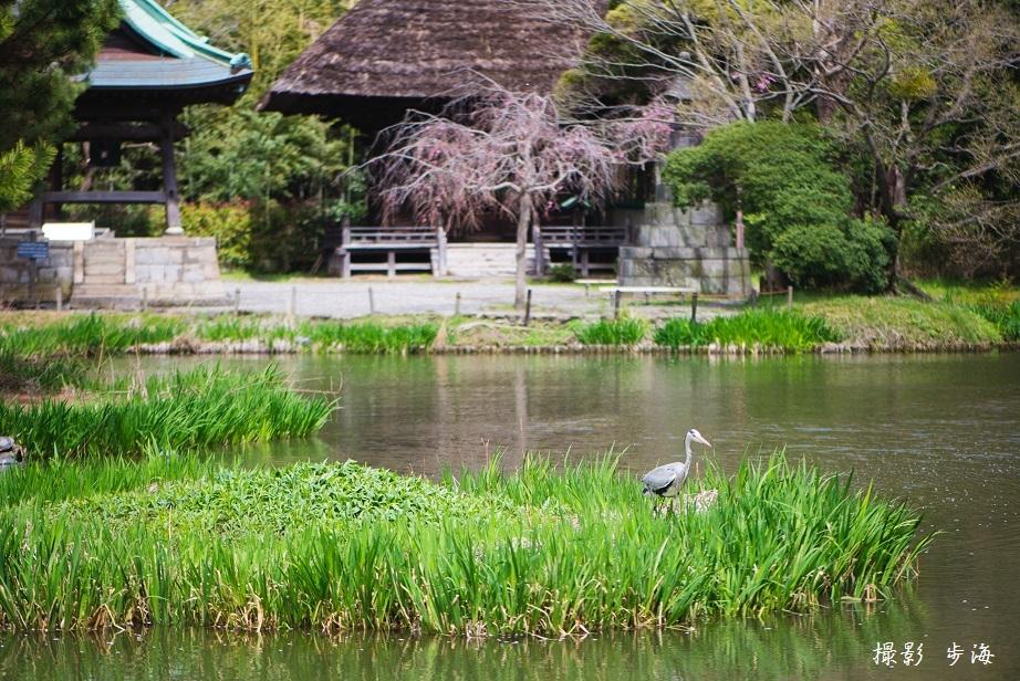 春の称名寺(2016年4月)_b0348205_23441657.jpg