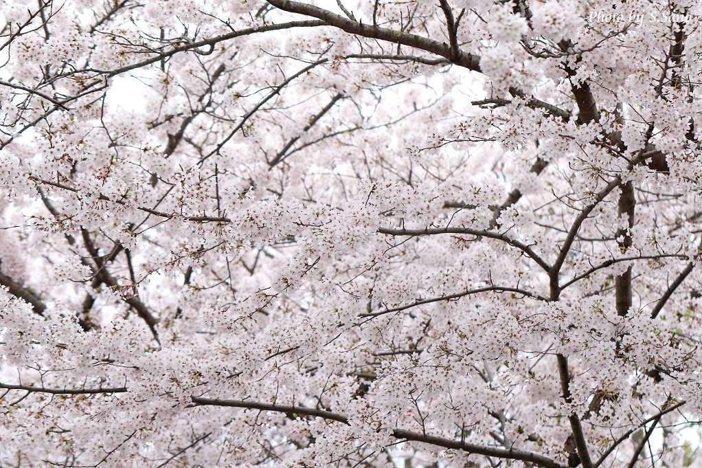 春の称名寺(2016年4月)_b0348205_23585482.jpg