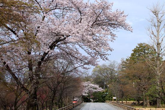 16桜だより32 智積院_e0048413_18262558.jpg