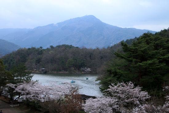 16桜だより33 宝が池_e0048413_18534217.jpg