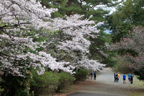 16桜だより33 宝が池_e0048413_18535554.jpg