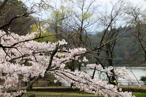 16桜だより33 宝が池_e0048413_18541745.jpg