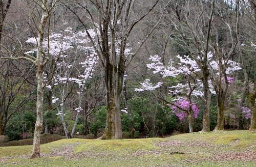 16桜だより33 宝が池_e0048413_18544794.jpg