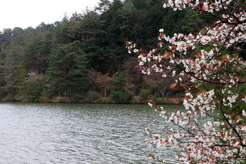 16桜だより33 宝が池_e0048413_1854661.jpg